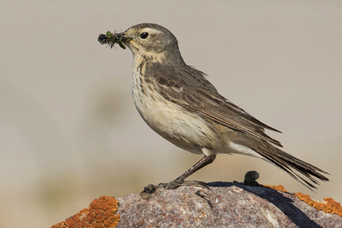 American Pipit, Mark Peck