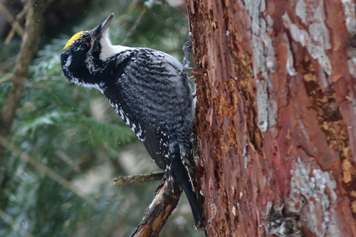 American Three-toed Woodpecker, Josiah Van Egmond