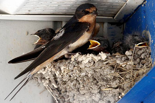 Barn Swallow, Dennis Swayze