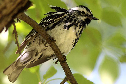 Black-and-white Warbler, Christian Artuso