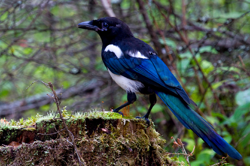 Black-billed Magpie, John Barker
