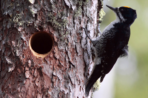Black-backed Woodpecker, Christian Artuso