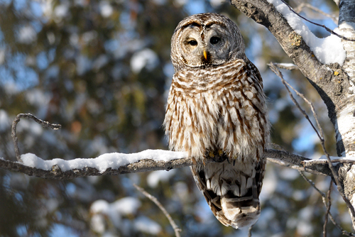 Barred Owl, Garry Budyk