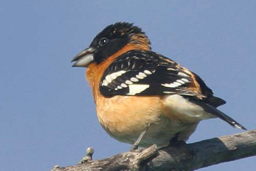 Black-headed Grosbeak, Christian Artuso