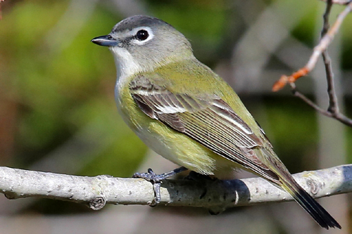 Blue-headed Vireo, Bob Shettler
