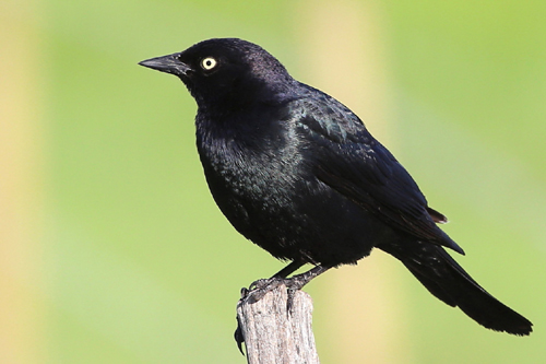 Brewer's Blackbird, Bob Shettler