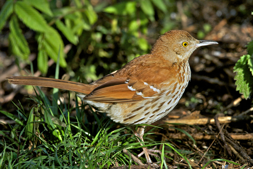 Brown Thrasher, Robert Taylor