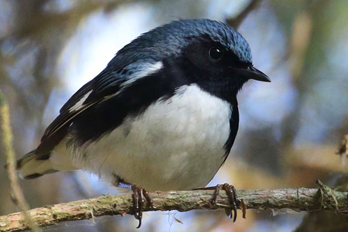 Black-throated Blue Warbler, Christian Artuso
