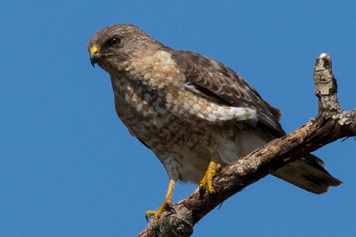 Broad-winged Hawk, Bob Shettler