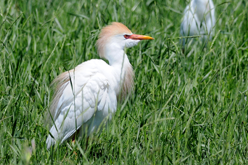 Cattle Egret, Garry Budyk