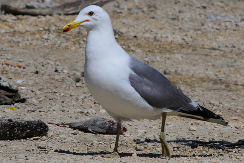 California Gull, Bob Shettler
