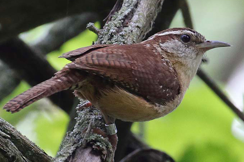 Carolina Wren, Christian Artuso