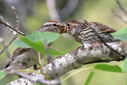 Chipping Sparrow, Joanne Smith