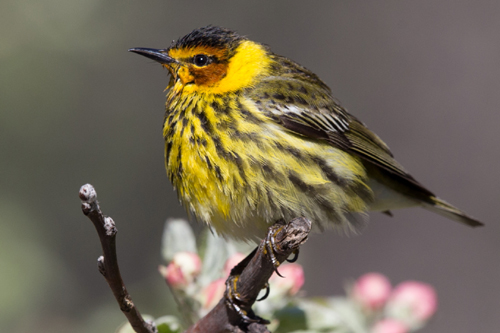Cape May Warbler, Bob Shettler