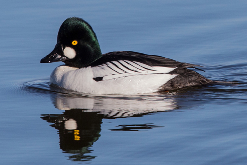 Common Goldeneye, Bob Shettler