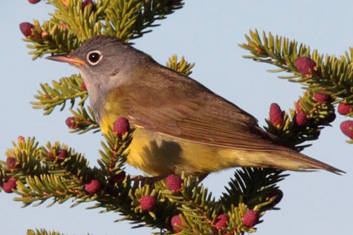 Connecticut Warbler, Christian Artuso
