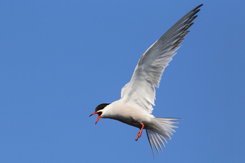 Common Tern, Bob Shettler
