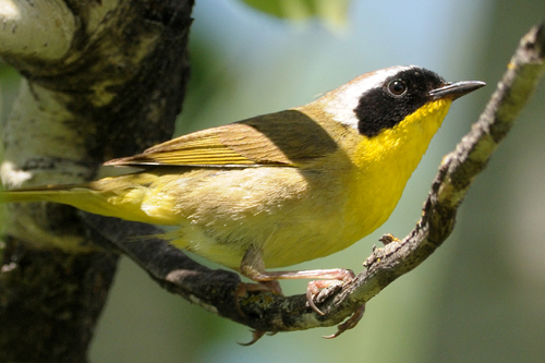 Common Yellowthroat, Garry Budyk