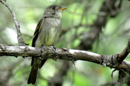 Eastern Wood-Pewee, Linda Curtis