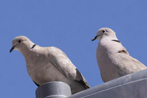 Eurasian Collared-Dove, Christian Artuso