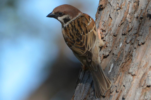 Eurasian Tree Sparrow, Joy Snydal Manikel
