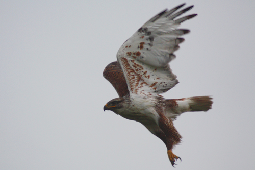Ferruginous Hawk, Timothy F Poole