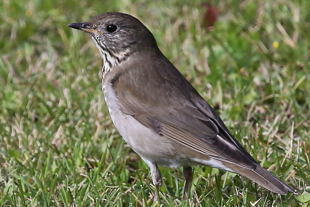 Gray-cheeked Thrush, Bob Shettler