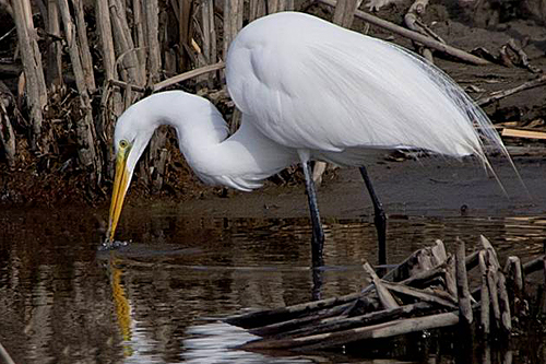 Great Egret, Shirley Lannoo