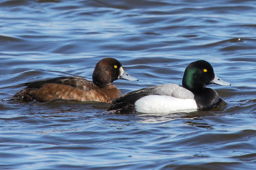 Greater Scaup, Bob Shettler