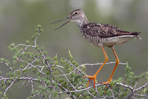 Greater Yellowlegs, Christian Artuso