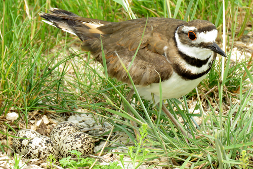 Killdeer, Linda Curtis