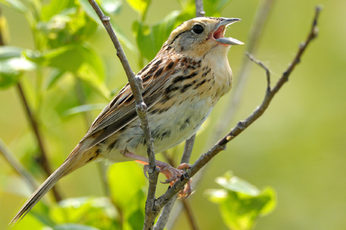 LeConte's Sparrow, Garry Budyk