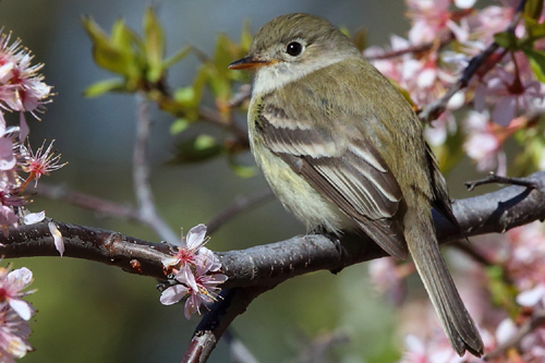 Least Flycatcher, Bob Shettler
