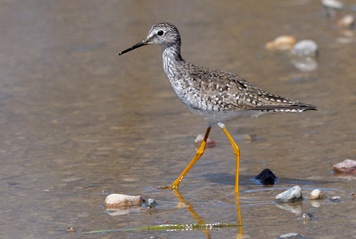 Lesser Yellowlegs, Garry Budyk