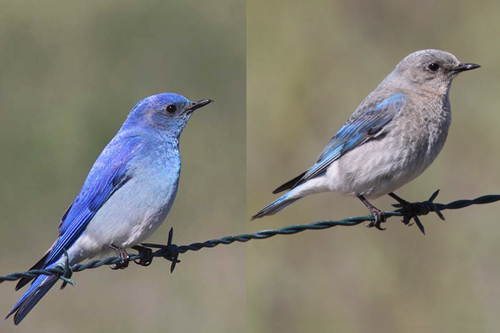 Mountain Bluebird, Christian Artuso