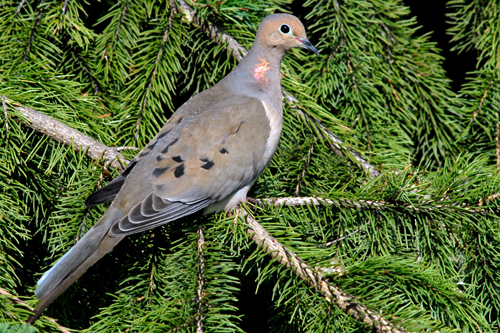 Mourning Dove, Robert Taylor
