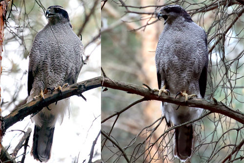Northern Goshawk, Christian Artuso