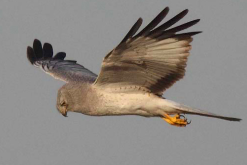 Northern Harrier, Christian Artuso