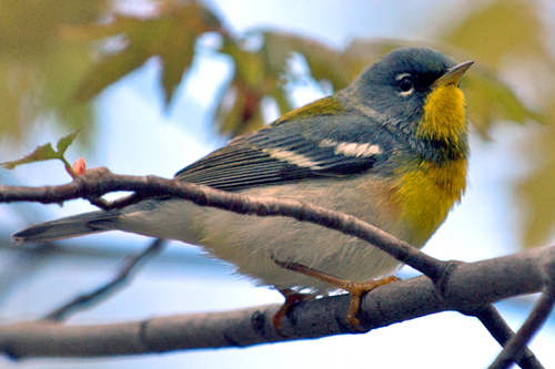 Northern Parula, Robert Taylor