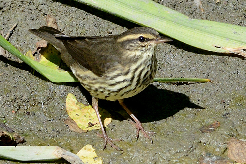 Northern Waterthrush, Garry Budyk