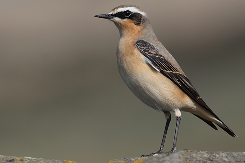 Northern Wheatear, David Barnes