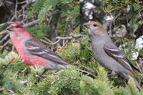 Pine Grosbeak, Christian Artuso