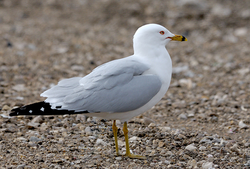 Ring-billed Gull, Garry Budyk