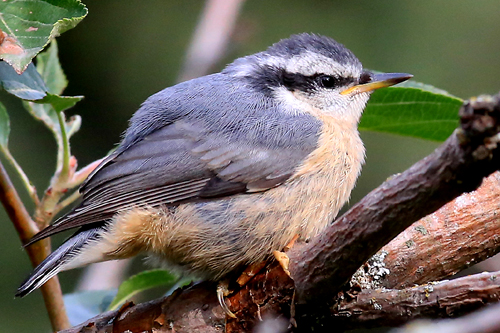 Red-breasted Nuthatch, Joanne Smith