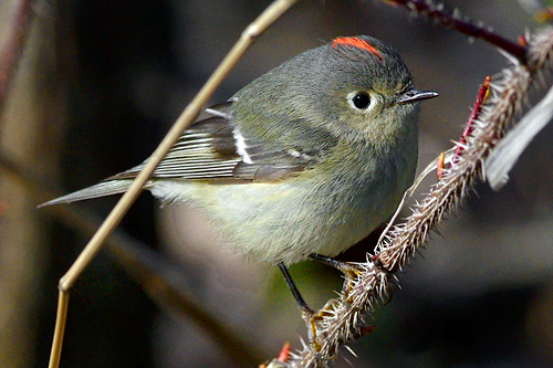 Ruby-crowned Kinglet, Garry Budyk