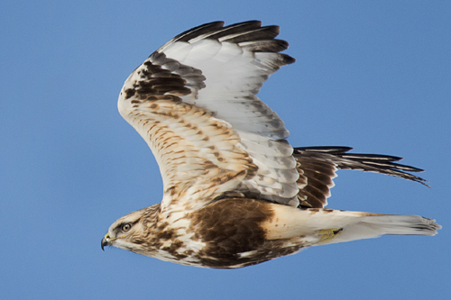 Rough-legged Hawk, John Pelechaty