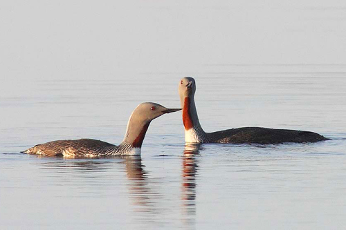 Red-throated Loon, Christian Artuso