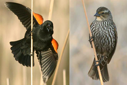 Red-winged Blackbird, Christian Artuso