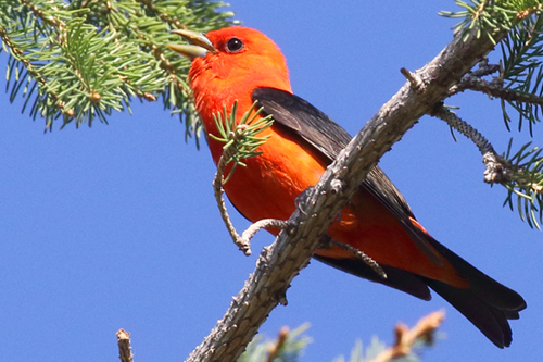 Scarlet Tanager, Christian Artuso