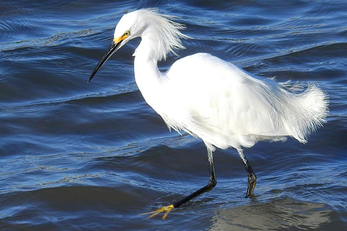 Snowy Egret, Cory Laughlin